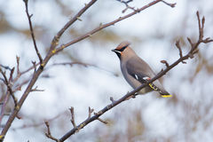 Bohemian Waxwing. On a branch in autumn Stock Image