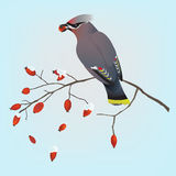 Bohemian waxwing on a branch Stock Photos