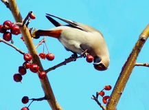 Bohemian Waxwing on the branch. In winter the garden feeds on Waxwing red apples Stock Photos
