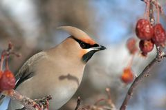Bohemian Waxwing Close-up Stock Photography