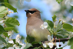Bohemian Waxwing in Crabapple Tree. A bohemian waxwing perched in a flowering crabapple tree in Littlefork, MN Stock Photography