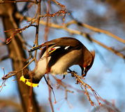Bohemian Waxwing eating berries Royalty Free Stock Photos