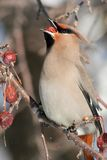 Bohemian Waxwing Eating a Berry. A Bohemian Waxwing eating a berry from a flowering crabapple tree in Littlefork, MN during winter Stock Image