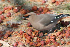 Bohemian Waxwing Among Fallen Berries. A Bohemian Waxwing eating fallen berries from a flowering crabapple tree that have been uncovered by the melting snow in Royalty Free Stock Photo