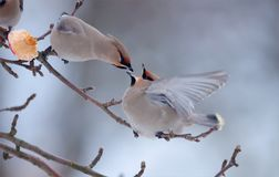 Bohemian waxwing fight over apple fruit. Bohemian waxwing fight with open beaks on apple tree branch stock image