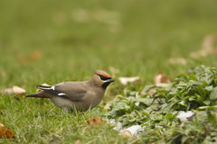 Bohemian waxwing on the grass Stock Image