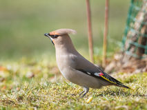 Bohemian Waxwing on grass looking for food Stock Photography