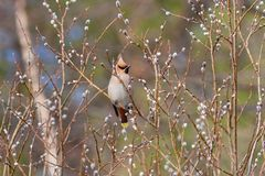 Bohemian waxwing perched in a blooming willow. Bohemian waxwing Bombycilla garrulus perched in a blooming willow royalty free stock photos