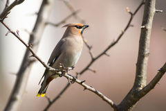 Bohemian Waxwing perched on a branch during spring Stock Photography