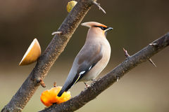 Bohemian Waxwing perched on a branch during spring. Bohemian Waxwing (Bombycilla garrulus) perched on a tree branch during spring, Sweden royalty free stock images