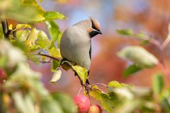 Bohemian waxwing perched in a crab apple tree. Bohemian waxwing Bombycilla garrulus perched in a crab apple tree with fall colors in the background royalty free stock photo