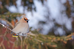Bohemian waxwing. A perched Bohemian waxwing in Rimouski Quebec, Canada in February of 2015 stock photography