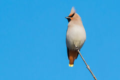 Bohemian Waxwing. Perched on a thin branch Royalty Free Stock Photo