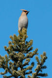 Bohemian Waxwing. Perched on top of an evergreen tree Royalty Free Stock Images