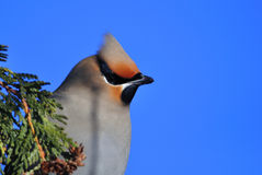 Bohemian Waxwing Royalty Free Stock Images