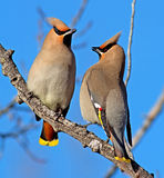 Bohemian Waxwing. Portrait of two Bohemian Waxwings. These birds are 18-21cm long and breed in the coniferous forests of northern Europe, Asia and western North stock photo