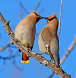Bohemian Waxwing. Portrait of two Bohemian Waxwings performing a bonding ritual where one Waxing gives the other a small piece of food. These birds are 18-21cm stock photo