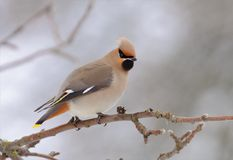 Bohemian waxwing perched on apple tree branch in winter. Bohemian waxwing posing on apple tree branch in winter stock image