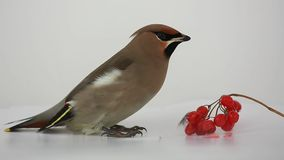Bohemian Waxwing with red berries isolated on a white stock video footage