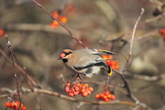 Bohemian Waxwing with red berry. A Bohemian Waxwing feeds on Mountain Ash berries in Idaho Royalty Free Stock Image
