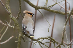 Bohemian waxwing standing on a branc Royalty Free Stock Photos