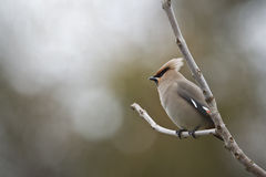 Bohemian waxwing standing on a branch Stock Images