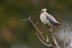 Bohemian waxwing standing on a branch Stock Photos