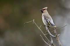 Bohemian waxwing standing on a branch, Vosges, France Royalty Free Stock Photography