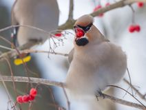 Bohemian Waxwing feeding with red berry in mouth. Bohemian Waxwing swallows a Viburnum berry stock image
