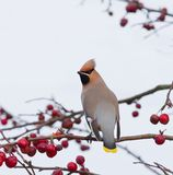 Bohemian Waxwing on tree with berries  Stock Photography