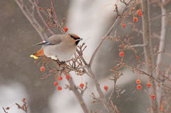 Bohemian waxwing. A Bohemian waxwingin going for Sorbus fruits during a snowy day in Rimouski Quebec, Canada in February of 2013 stock photography