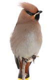 Bohemian Waxwing. On a white background Stock Photography