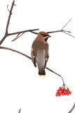 Bohemian Waxwing. On a white background Royalty Free Stock Photography