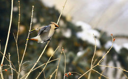 Bohemian Waxwing Royalty Free Stock Photography