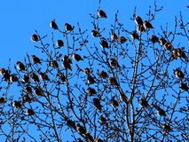 Bohemian Waxwings Or Bombycilla Garrulus. On branch against a blue sky in winter royalty free stock photography