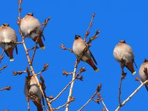 Bohemian Waxwings Or Bombycilla Garrulus. On branch against a blue sky in winter stock photography