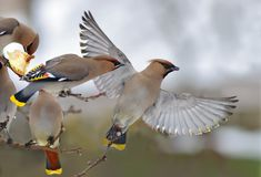 Bohemian Waxwings in fight near a feeder royalty free stock photos