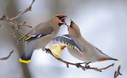 Bohemian waxwings fight over an apple on the branch in winter. Bohemian waxwings arguing over an apple on the branch in winter royalty free stock photo