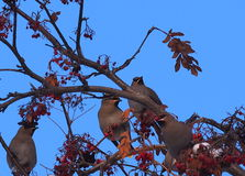 Bohemian Waxwings Royalty Free Stock Images