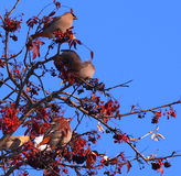 Bohemian Waxwings Stock Images