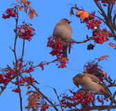 Bohemian Waxwings Royalty Free Stock Image