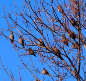 Bohemian Waxwings Royalty Free Stock Photo
