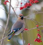 Bohemian waxwings perched on a red berry tree stock photos