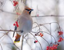 Bohemian waxwings sits on a red berry tree in soft light. Bohemian waxwings perched on a viburnum tree with berries stock photo