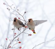 Bohemian waxwings posing on a very snow covered plant in winter. Bohemian waxwings posing on a very snow covered briar stock photo