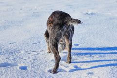 A Bohemian Wire-haired Pointing Griffon or korthals griffon walking and trying find some interesting smell. A bohemian wire. With small tail stock photos