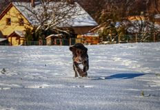 A Bohemian Wire-haired Pointing Griffon or korthals griffon running in snow straight to me. So playful female dog. Brown body full. Of snow stock images