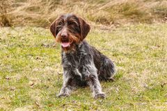 Bohemian wire-haired Pointing Griffon is smiling on the whole world. She sticks out her tongue. Female dog is brimming with. Happiness. Feeling safe stock image
