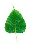 Bohhi tree leaf isolated on white background Royalty Free Stock Images
