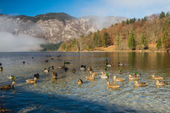 Bohinj Lake. Photo of herd of wild ducks swimming in Bohinj Lake,Slovenia Stock Photo